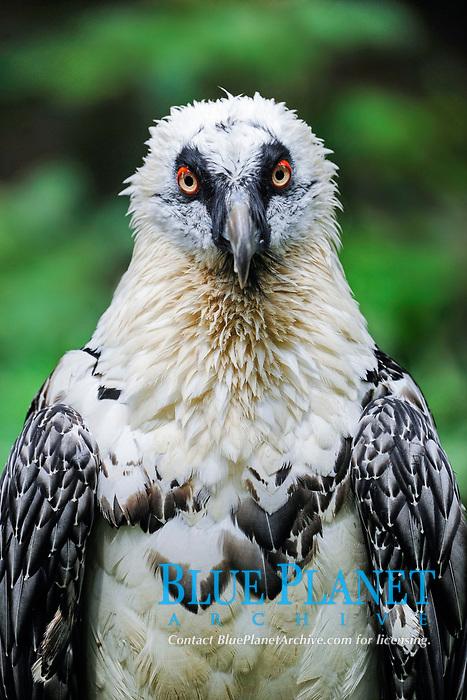 Bearded Vulture (Gypaetus barbatus), portrait, captive, Bavaria, Germany, Europe