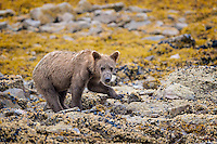 Young Brown Bear (Ursus arctos) turns over rocks in search of food, such as mussels or crustaceans that live under the rocks.  Amazing how strong this bear was, turning over some pretty big rocks with one paw - with ease.  Kukak Bay, Katmai National Park, Alaska.