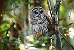 Barred Owl, Ding Darling National Wildlife Refuge, Florida