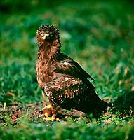 Schreiadler, Schrei-Adler, mit Beute, erbeutetem Feldhamster, Adler, Clanga pomarina, Aquila pomarina, lesser spotted eagle, L'Aigle pomarin