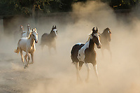 Marwari mares in Nawalgarh, Rajasthan, India Marwari mares running, Nawalgarh, Rajasthan, India