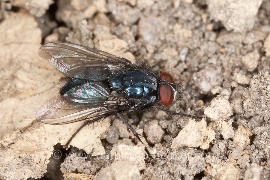 Schmeissfliege, Schmeißfliege, Fleischfliege, Männchen, Melinda cf. viridicyanea, blowfly, bluebottles, bluebottle blowfly, bluebottle, Schmeißfliegen, Calliphoridae, blowflies