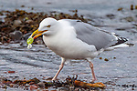 Gull takes wrapper off boiled sweet and eats it by Michelle Coyle
