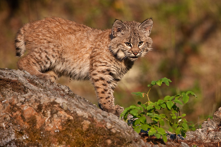 Baby Bobcat walking across the top of a mossy rock - CA