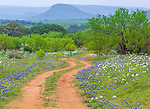 Gillespie County, Texas Hill Country: A curvy road cuts through a field of Texas bluebonnets (Lupinus texensis) and bluestem prickly poppies (Argemone polyanthemos) with Cedar Mountain in the distance in the Texas Hill Country near Fredricksburg