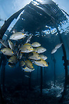 Rabbitfish schooling, GGolden-lined spinefoot, Golden-lined spinefoot, The golden-lined spinefoot is a species of rabbitfish. Like all rabbitfishes, it has venomous spines on the dorsal, anal, and pelvic fins. The maximum length is 43 cm. It is a common, commercially important fish. IUCN List:www.iucnredlist.org/details/69690025/0