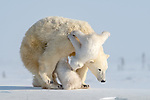 SURPRISE! Polar bear cub tumbles off mum as they all cuddle by Hung Tsui