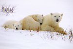 With winter on its way, all these bears can do is wait for colder temperatures from the north, saving their energy and fat reserves for the long journey out onto the sea ice.<br /> Wapusk National Park, Manitoba, Canada
