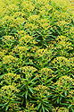 Euphorbia mellifera, late May. Canary spurge, native to Madeira and the Canary Islands.