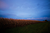 Central Illinois<br /> October 13, 2014<br /> <br /> Genetically Modified Organism (GMO) conventional corn ready for harvest in central Illinois.