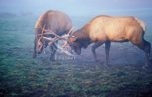 ROOSEVELT ELK (Cervus elaphus roosevelti) lock antlers on foggy morning in dominance battle. This Pacific Coast subspecies of elk is larger and darker than the  Rocky Mountain elk. Autumn. Vancouver Island, British Columbia. Canada.