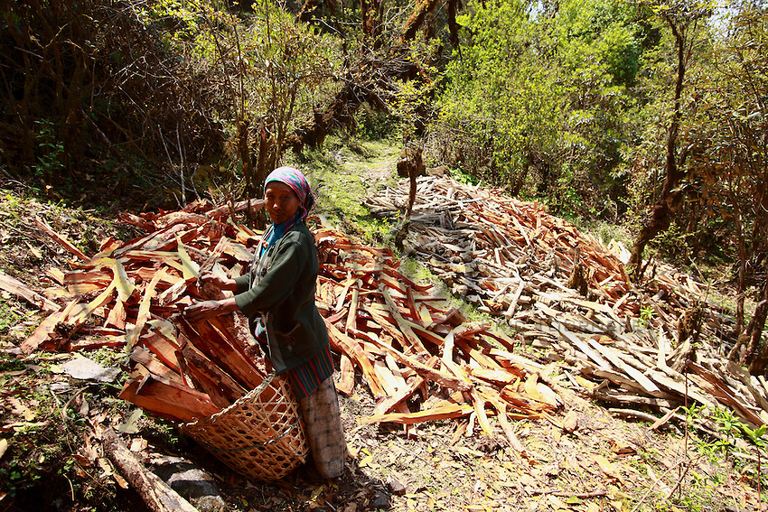A woman prepares her basket to transport firewood. Few rhododendron forests are protected and an increasing population means more trees are felled each year.