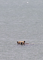 We were fortunate to see this grizzly bear swimming in Yellowstone Lake.