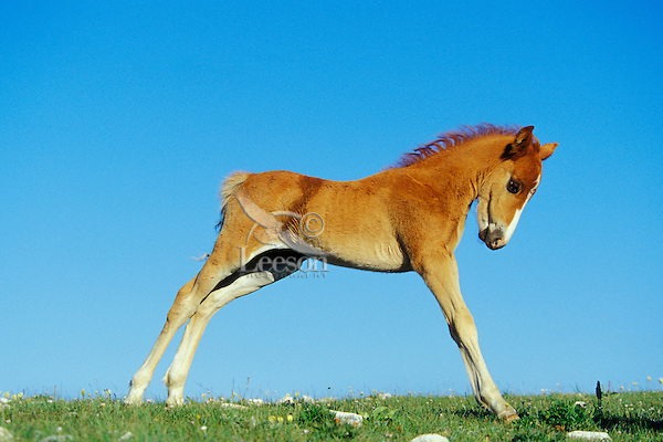 Wild Horse colt stretching after getting up from nap.  Western U.S., summer..(Equus caballus)