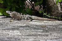 Iguana Resting in the Sun.  Xcaret, Playa del Carmen, Riviera Maya, Yucatan, Mexico.