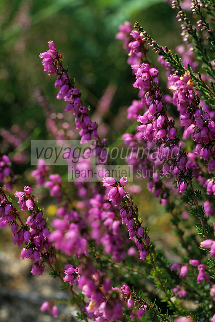 Europe/France/Limousin/23/Creuse/Plateau de Millevaches: Bruyères en fleurs