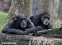 0209-08qq  Pair of Chimpanzees, Pan troglodytes © David Kuhn/Dwight Kuhn Photography