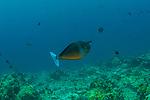Unicornfish, Naso is a genus of fish in the surgeonfish family, Acanthuridae