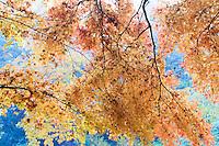 France, Allier (03), Villeneuve-sur-Allier, Arboretum de Balaine en automne, érable palmé (Acer palmatum)