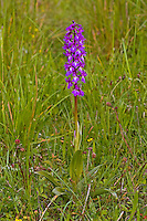 Stattliches Knabenkraut, Männliches Knabenkraut, Manns-Knabenkraut, Mannsknabenkraut, Kuckucks-Knabenkraut, Orchis mascula, early-purple orchid, L'orchis mâle