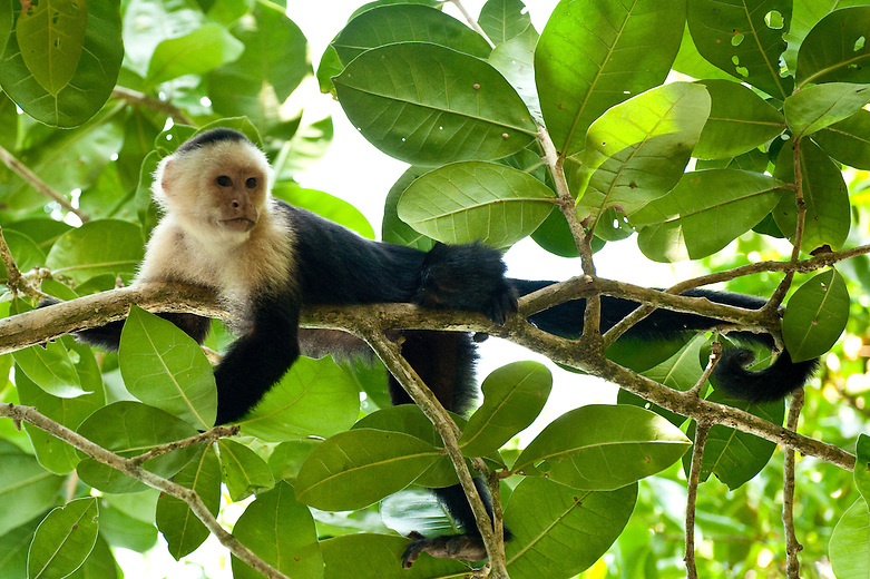 White-faced capuchins or 'carablancas' are abundant residents of the wet lowland forests on Costa Rica's Caribbean slope, as well as dryer deciduous forests on the Pacific slope. They are very active and highly arboreal, but they will also forage at all levels of the forest and occasionally come to the ground to feed.  They are omnivores, with their diet consisting of ripe fruit, plants, insects, bird eggs, young birds, baby squirrels and small lizards.    Troops will often consist of 2-20 members, with a single adult male plus females and their young.  They can travel up to 2 miles a day while remaining in a fairly small home range.  These monkeys are a common sighting in Manual Antonio National Park in the Central Pacific coast of Costa Rica. ..