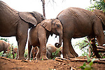 Orphaned baby elephants at the David Sheldrick Wildlife Trust in Nairobi National Park. The elephants range in age from  six months to three years.