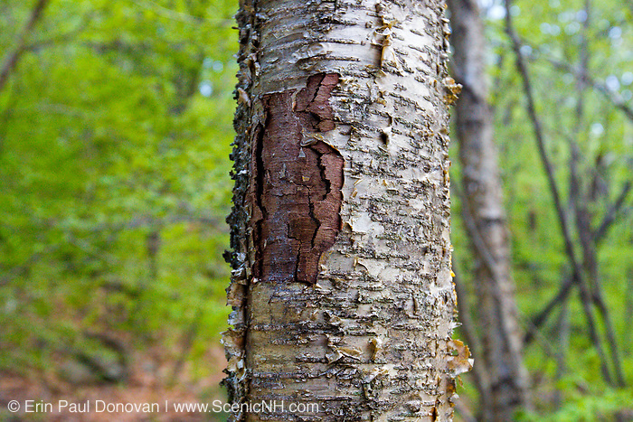 May 2013 - A tree wound on a yellow birch tree along the Mt Tecumseh Trail in New Hampshire. This wound is the result of man not properly removing a painted trail marker (blaze) from the tree. The blaze was painted on the tree in 2011, and then improperly removed from the tree in the spring of 2012. The bark, where the blaze was, was cut and peeled away creating a tree wound.