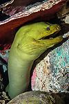 Green morey eel facing camera hiding under shipwreck, medium shot, vertical