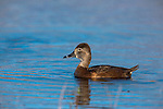 Female ring-necked duck