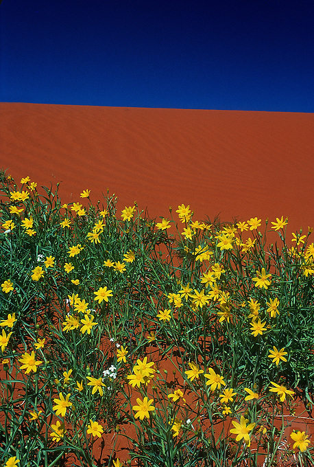 After rare rain the red center comes a life, Central Australia sanddunes with flowers near Ayers Rock Uluru National Park, Northern Territory, Australia