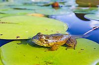 Wide angle closeup, Immature green frog, Lithobates clamitans or Rana clamitans, still possessing tadpole tail, Nova Scotia, Canada