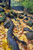 Rock path at Horestail Falls with fall colored maple leaves. Columbia River Gorge National Scenics Area.  Oregon