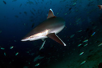 The silvertip shark (Carcharhinus albimarginatus) is a large species of requiem shark, with a fragmented distribution throughout the tropical Indian and Pacific Oceans. This species is often encountered around offshore islands and coral reefs, and has been known to dive to a depth of 800 m. The silvertip shark can be easily identified by the prominent white margins on its fins. It attains a maximum length of 3 m.<br /> An aggressive, powerful apex predator, the silvertip shark feeds on a wide variety of bony fishes, as well as eagle rays, smaller sharks, and cephalopods. This species dominates other requiem sharks of equal size when competing for food, and larger individuals are often heavily scarred from conflicts with others of its species. As with other members of its family, the silvertip shark is viviparous, with females giving birth to one to 11 pups in the summer. Silvertip sharks are regarded as potentially dangerous to humans, as they often approach divers quite closely. This slow-reproducing species is taken by commercial fisheries for its meat, fins, skin, cartilage, and jaws and teeth, which has apparently led to local population declines or extirpations. As a result, the International Union for Conservation of Nature has assessed it as Near Threatened.<br />  The pectoral fins are proportionately longer than in most requiem sharks and falcate (sickle-like) in shape, with pointed tips. The coloration is blue-gray above with a bronze sheen, and white below. There is a subtle white band along the sides and distinctive white tips and borders on all fins. Silvertip sharks can grow up to 3 m long, but typically measure 2.0–2.5 m in length. The maximum reported weight is 162 kg. Females are larger than males.