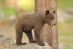 SEQUENCE 2 OF 12:  I can't bear it!<br /> <br /> This cub appears to be having a bad day as it covers its face with its paw.  The three-month-old brown bear hides his face and growls moodily.<br /> <br /> The stroppy looking cub was photographed in the Finnish spruce and pine covered taiga, or boreal forest, in Martinselkonen.  SEE OUR COPY FOR DETAILS.<br /> <br /> Please byline: Valtteri Mulkahainen/Solent News<br /> <br /> © Valtteri Mulkahainen/Solent News & Photo Agency<br /> UK +44 (0) 2380 458800