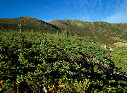 Alpine Ravine Shrub Thicket along Boott Spur Trail in the White Mountains, New Hampshire USA.