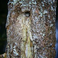 Sperlingskauz, in Baumhöhle, Sperlings-Kauz, Käuzchen, Glaucidium passerinum, pygmy owl, Eurasian pygmy owl, La Chevêchette d'Europe, Chouette chevêchette