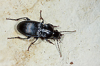 Großer Breitkäfer, Schwarzer Schulterläufer, Großer Brettläufer, Laufkäfer, Abax parallelepipedus, Abax ater, parallel-sided ground beetle