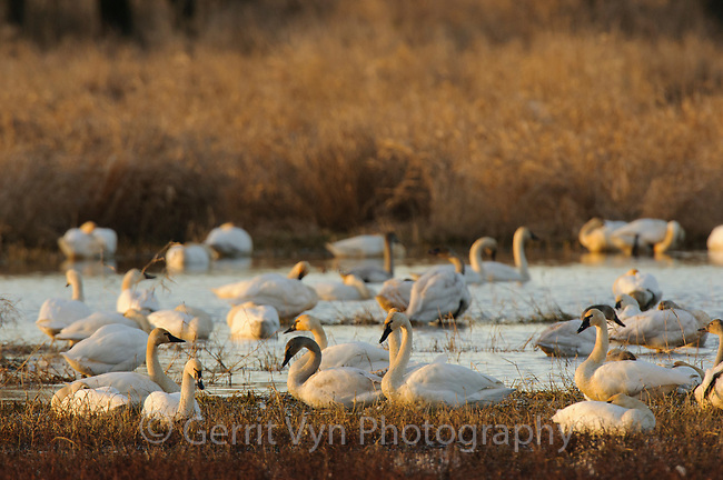 Tundra Swans (Cygnus columbianus) wintering in southern Washington. Ridgefield National Wildlife Refuge, Washington. January.