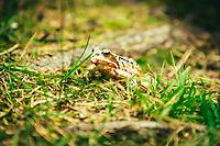 The moor frog (Rana arvalis), Sjuhäradsleden, West Sweden, Sweden - Västsverige, Sverige
