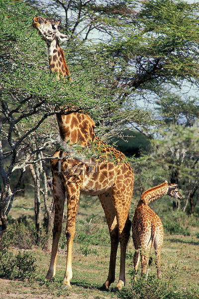 Masai Giraffe (Giraffa camelopardalis) mother foraging while calf stands at her side.  Kenya.