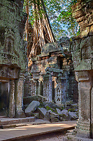 Cambodia.  Ta Prohm Temple Ruins, 12th-13th. Century.  Tree Growing atop the Ruins.