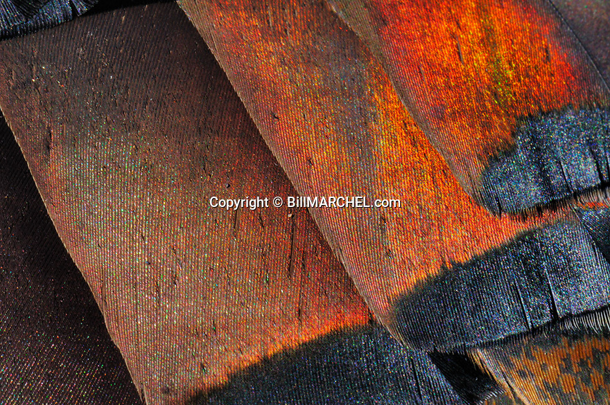 01225-104.18 Wild Turkey: Close up of colorful turkey feathers shows iridescence.  Hunt, color, plumage.