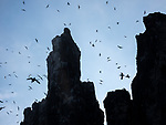 Tens of thousands of black and white birds sit in crowds on the narrow ledges of a steep cliff.   Around 60,000 breeding pairs of Brünnich's guillemots gather on the hundred metre rocks which stretch for several kilometres. <br /> <br /> The birds - also known as thick-billed murres - are excellent divers, and can reach incredible depths of up to 150 metres and remain underwater for up to four minutes.   The photos of the cliff of Alkefjellet, meaning 'mountain of the guillemots, were taken by American photographer Kah-Wai Lin in the Svalbard islands of the Norwegian Arctic.  SEE OUR COPY FOR DETAILS.<br /> <br /> Please byline: Kah-Wai Lin/Solent News<br /> <br /> © Kah-Wai Lin/Solent News & Photo Agency<br /> UK +44 (0) 2380 458800
