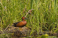 Male Cinnamon Teal duck.  Klamath Marsh National Wildlife Refuge, Oregon.  May.