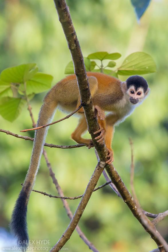 Black-crowned Central American Squirrel Monkey {Saimiri oerstedii oerstedii}. Osa Peninsula, Costa Rica. May. IUCN Red List Vulnerable species.