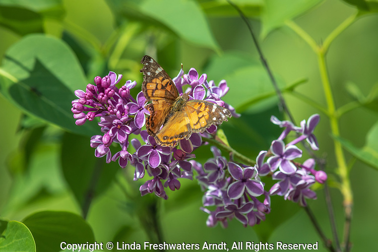 Painted lady butterfly in northern Wisconsin.