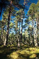 Abernethy Forest near Loch Garten, Abernethy Nature Reserve, Cairngorm National Park, Highland