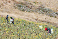 Farmers harvest beans in the foothills of Mt. Antisana, near Quito, Ecuador