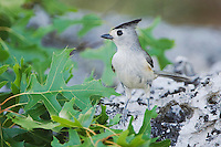 Black-crested Titmouse, Baeolophus atricristatus, adult , Uvalde County, Hill Country, Texas, USA, April 2006