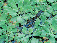 American Alligator, Alligator mississipiensis, young in Water Lettuce (Pistia Stratiotes), Corkscrew Swamp Sanctuary, Florida, USA, Dezember 1998
